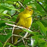 Érythrocerque jaune