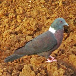 Pigeon de Delegorgue