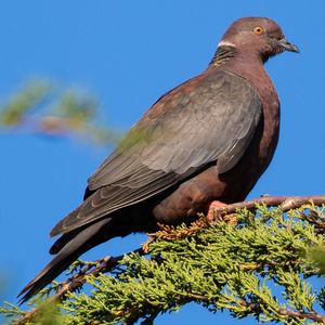 Pigeon du Chili
