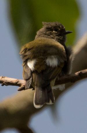 Indicateur pygmée