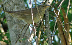 Locustelle fluviatile