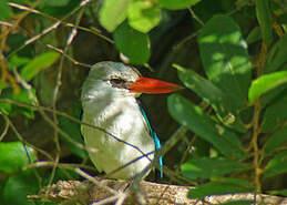 Martin-chasseur des mangroves