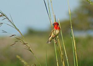 Travailleur cardinal
