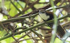 Troglodyte à ventre noir