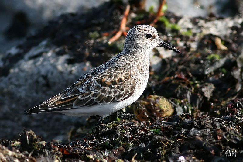 Bécasseau sanderling , identification