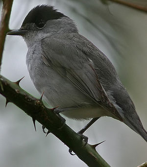 Fauvette t te noire sylvia atricapilla for Oiseau tete noire