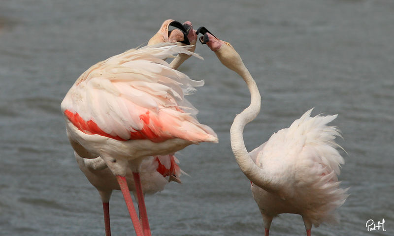 Flamant rose , Comportement