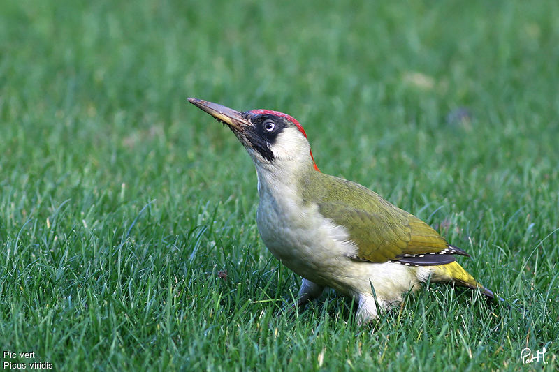 Pic vert picus viridis for Oiseau vert et rouge