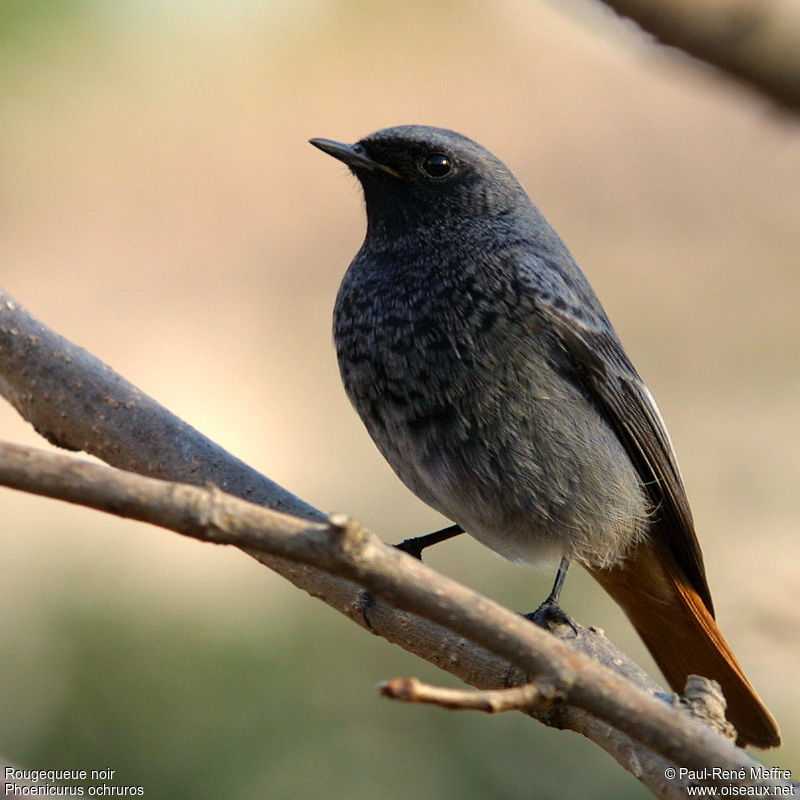 Rougequeue noir m le adulte ref prme110327 for Oiseau queue rouge