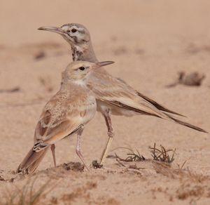 Sirli du désert