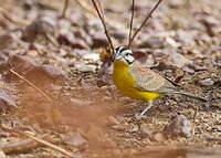 Bruant à ventre jaune