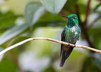 Colibri à sous-caudales rousses
