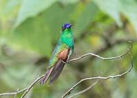 Colibri d'Oaxaca