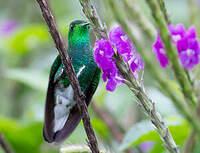 Colibri elvire