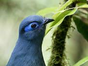 Coua bleu