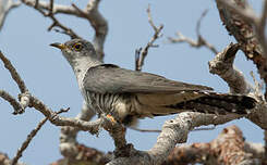 Coucou de Madagascar