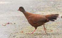 Galloperdrix rouge