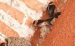 Hirondelle à front brun