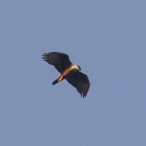 Aigle à ventre roux