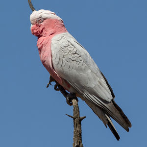 Cacatoès rosalbin