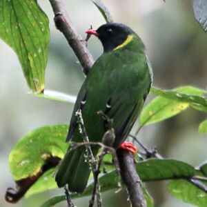 Cotinga vert et noir