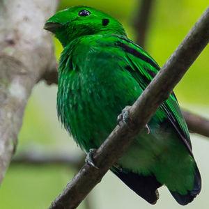 Eurylaime vert