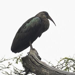 Ibis olive