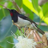 Myzomèle de Timor