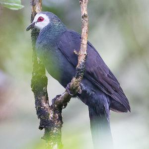 Phasianelle de Manado