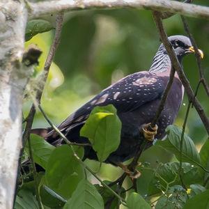 Pigeon de Sao Tomé