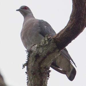 Pigeon gris