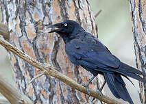 Petit Corbeau