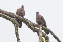 Pigeon à bec noir