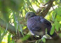 Pigeon d'Elphinstone