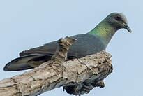 Pigeon de Malherbe