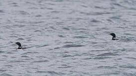 Plongeon à bec blanc
