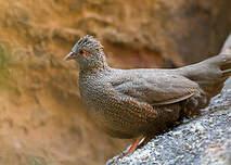 Poulette de roche