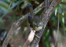 Séricorne de Tasmanie