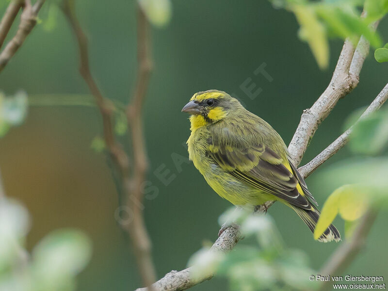 Yellow Fronted Canary Crithagra Mozambica Pava279425