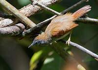 Timalie à ailes rousses