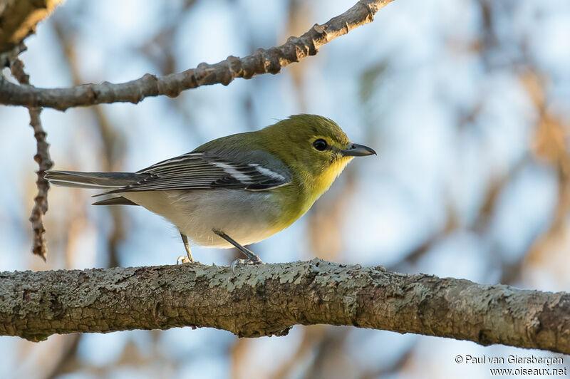 un oiseau Martin 06 Novembre trouvé par Martine Vireo.a.gorge.jaune.pava.1g
