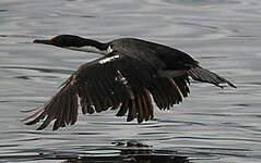Cormoran de Magellan