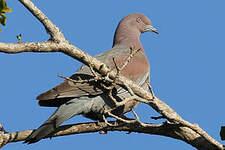 Pigeon simple
