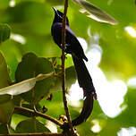 Tchitrec des Seychelles
