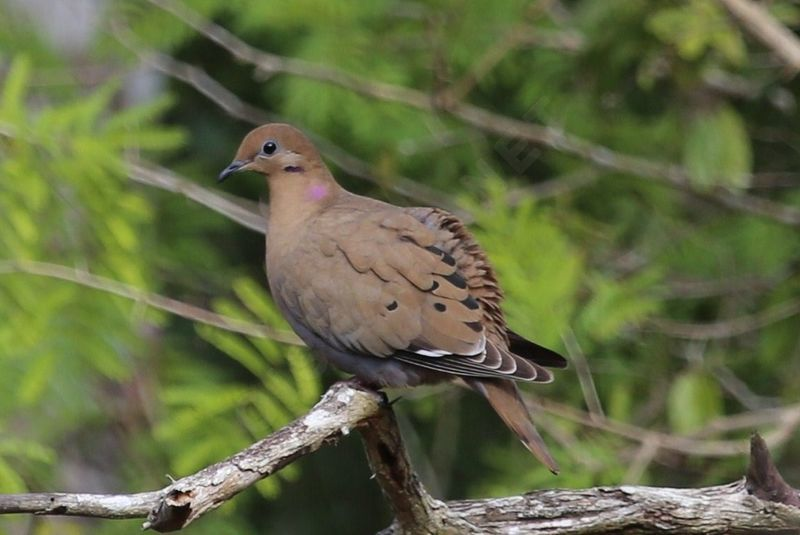 zenaida dove - photo #43