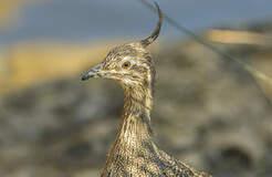 Tinamiformes
