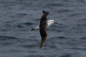 Albatros de l'océan indien