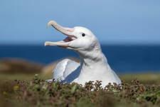 Albatros hurleur