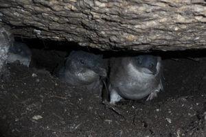 Manchot pygmée
