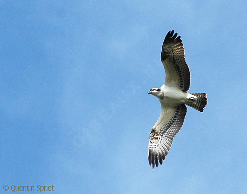 Western Osprey immature, Flight